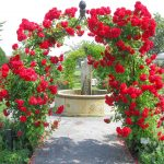 Trandafiri-urcatori